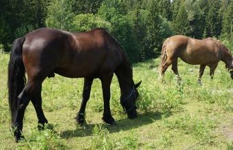 Hästar i Hemlingby